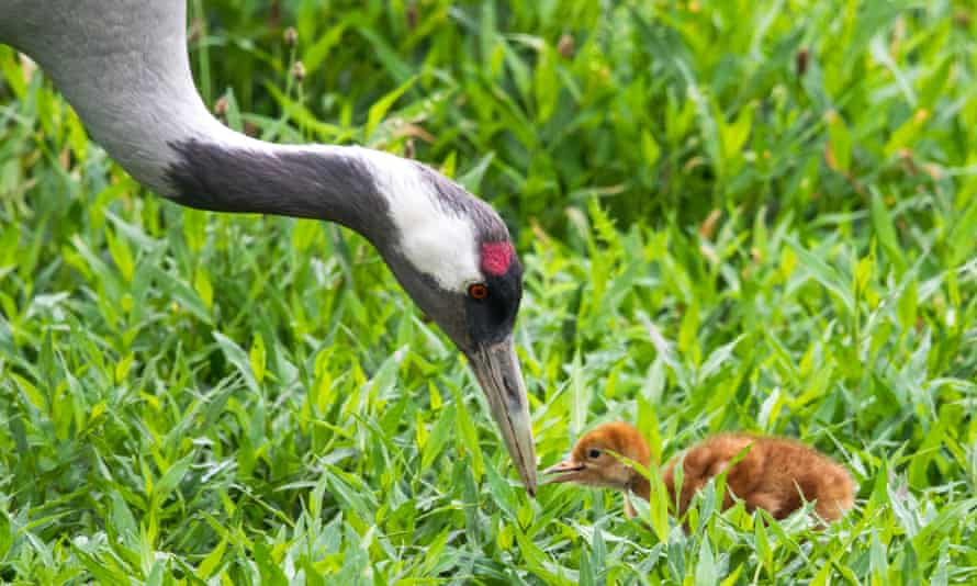 Common crane with chick from the Great Crane Project