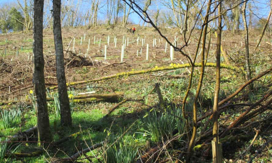 Saplings in white plastic tubes have been planted among felled larch