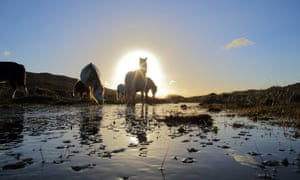 Welsh mountain ponies at Whitesands Bay near St Davids.