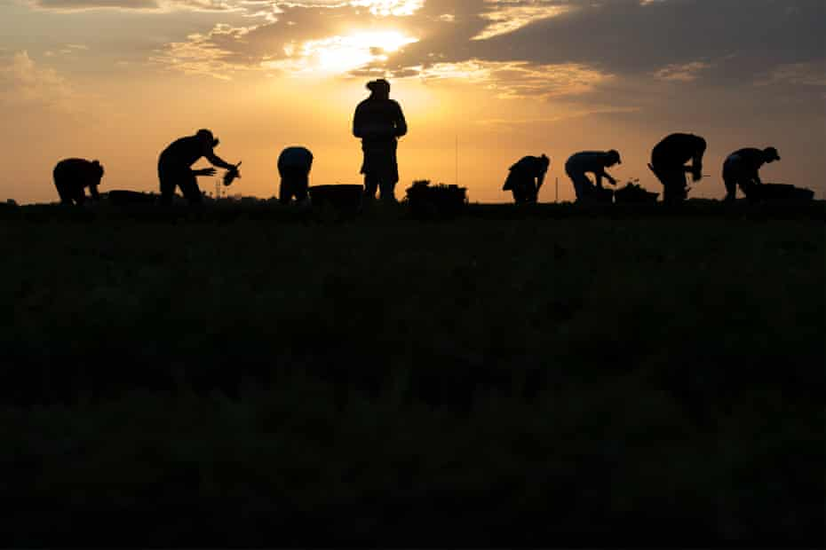 Farmers harvest cilantro at dawn, paid on a piecework basis, earning $5 per box of 100 bunches.