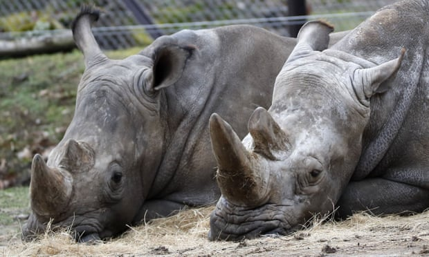 POLL: Should zoos protect rhinos by removing their horns?