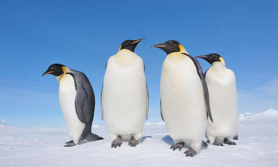 Emperor penguins on Snow Hill Island, Antarctica.