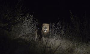 Balule, South Africa. A lion is seen at a nature reserve in northern Limpopo. Lions are classed as a vulnerable species and with an ever-shrinking habitat. The lion population at the Balule nature reserve is flourishing where an annual census is underway
