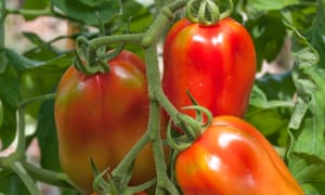 Superfruit: tomatoes ripening on the vine in England.