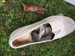 The spotted python was found in Moira Boxall's shoe last Friday.