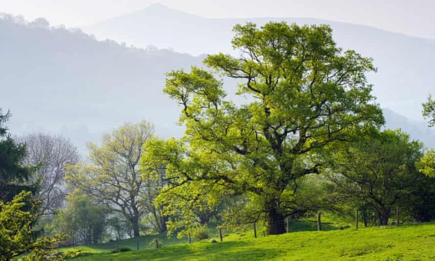 Oak tree with Sugar Loaf (Y Fal) in background, near Crickhowell, Powys, Wales.