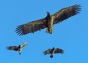 A sea eagle is followed by a pair of hooded crows over the river Oder on the German-Polish border