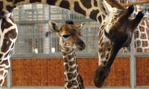 Baby giraffe whose birth was streamed live on internet dies