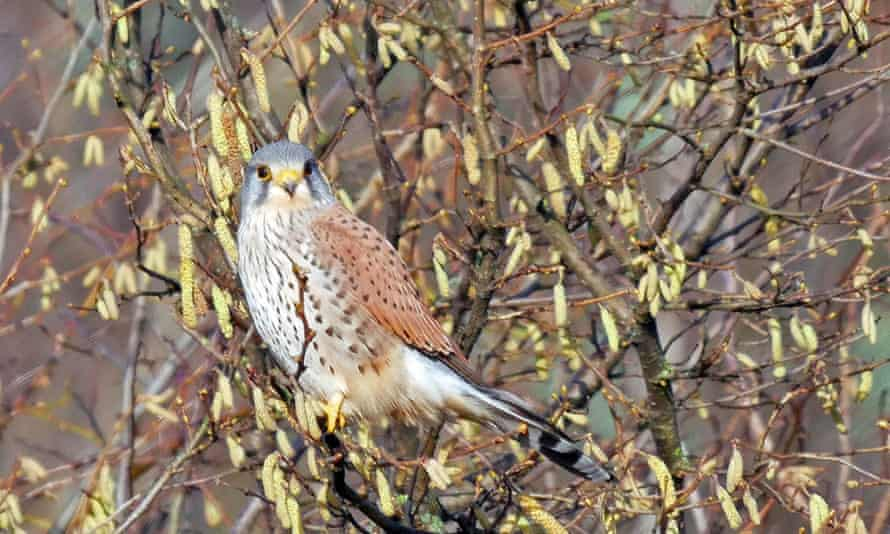 A kestrel perched amongst hazel catkins: an early sign of spring.