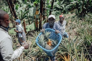 A man holds a basket of freshly harvested pineapples