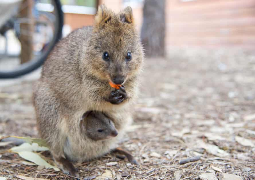Close-up Of Quokka With Young Animal