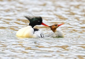 Scaly-sided or Chinese mergansers in China