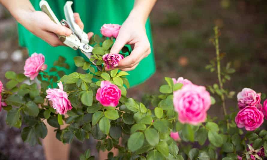 Girl trims rose in gardern
