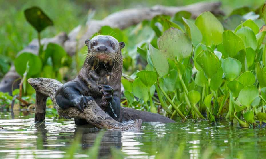 An otter in a lagoon, holding a branch