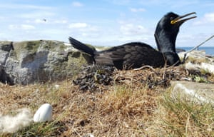 A new arrival for Ronald the shag who nests right next to the main jetty on Staple Island
