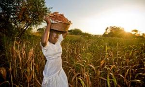 Harvesting sorghum