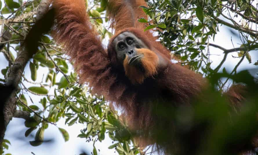 A new species of ape, the Tapanuli orangutan, was discovered in Indonesia