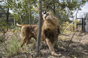 A former circus lion enjoys his new enclosure at the Emoya Big Cat Sanctuary in Vaalwater, South Africa