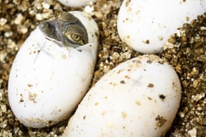 A West African crocodile hatching