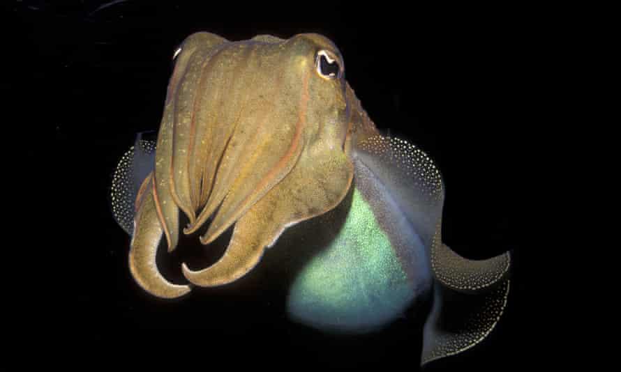 Model of self-restraint … a cuttlefish