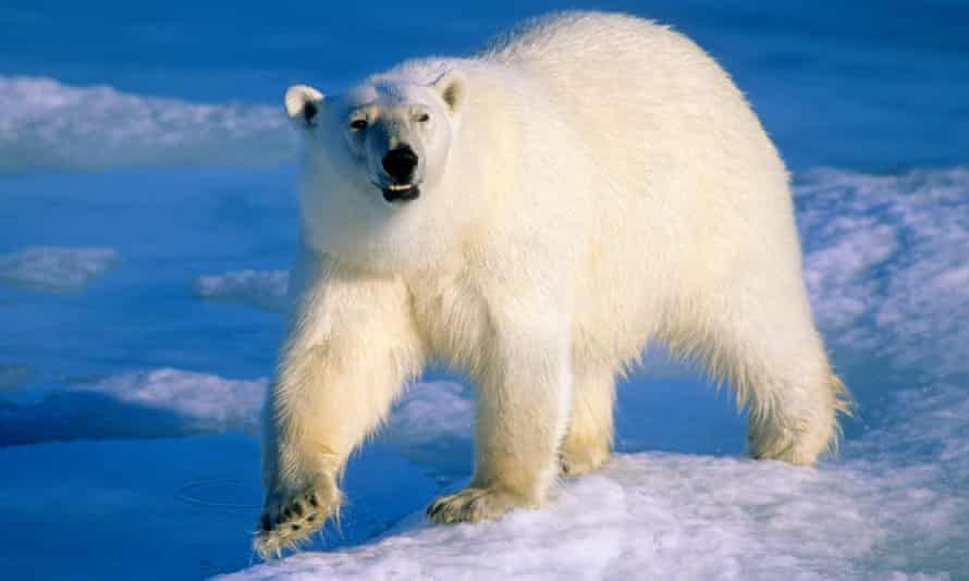 An adult polar bear hunting for seals on the melting pack ice in the Arctic.