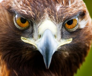 A 4 year old wild Golden Eagle from the Isle of Mull