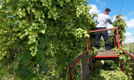 Harvest HopsB11HRJ Harvest Hops
