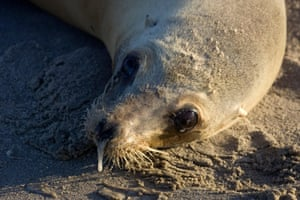 A pregnant California sea lion poisoned by domoic acid found in natural blooming algae in Santa Monica in 2011.