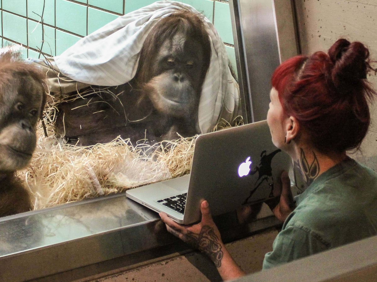 Tinder for orangutans': Dutch zoo to let female choose mate on a tablet |  Science | The Guardian