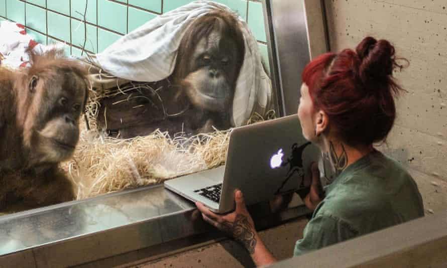 Female orangutans look at videos of male orangutans at a German zoo, in a similar experiment.