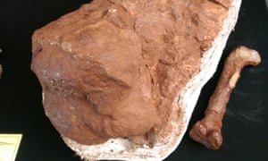 Half a thigh bone from the sauropod Highland Giant on display at Witwatersrand University in Johannesburg.