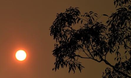 A eucalyptus tree