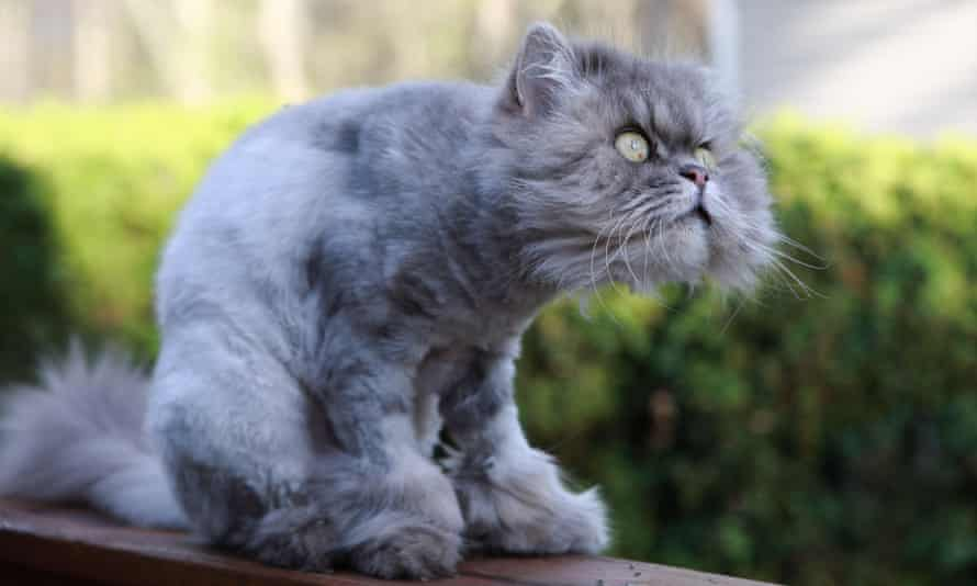 The cat that caught the (shaving) cream ... but many others are victims of callous mutilation.