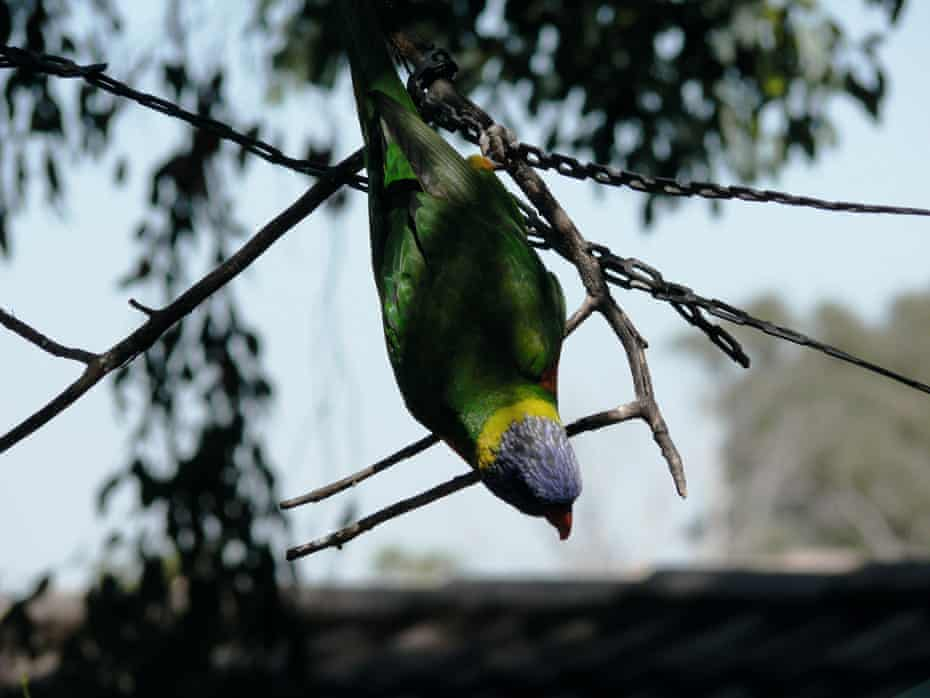 Australian Lorikeet photograph by the late comedian John Clarke, published in his 2017 book, Tinkering