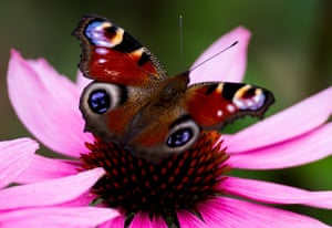 A peacock butterfly on a flower in a park in Dresden, Germany