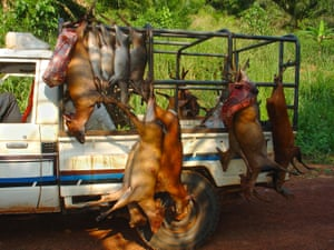 A vehicle carrying several different duiker carcasses for commercial bushmeat trade including: Blue Duiker, Bay Duiker, Peter's Duiker. The picture was taken with concealed camera.