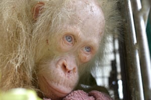 A rare albino orangutan that was saved from villagers who were keeping it in a cage in Kapuas Hulu, on the Indonesian side of Borneo island
