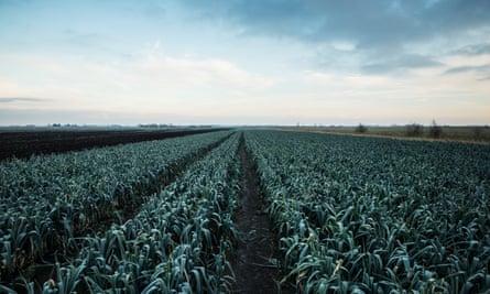 A field of leeks near Chatteris