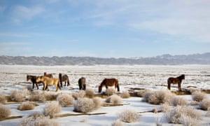Horses graze in a wintry steppe in south-east Kazakhstan.