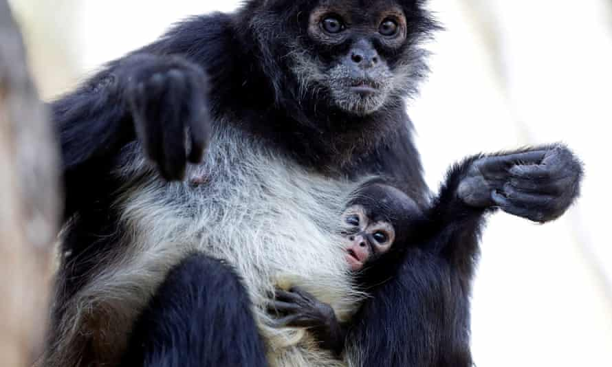 A spider monkey and baby