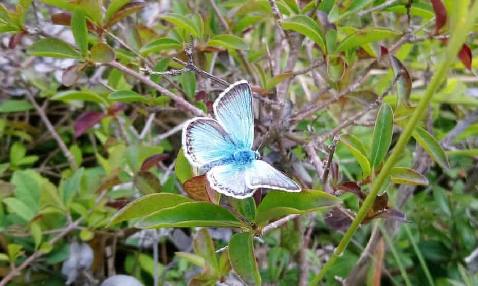 A male chalk hill blue butterfly