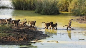A group of baboons cross a river in Marakele national park, South Africa