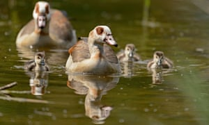 Egyptian geese with goslings
