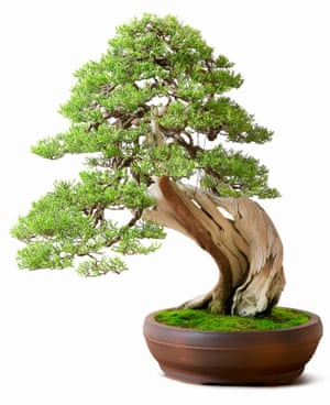Small wonder: a single bonsai tree can give you a few minutes a day of 'tending time'.