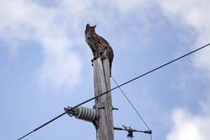 A bobcat sits atop an electric pole along Interstate 75 in Collier County next to the Florida Panther National Wildlife Refuge