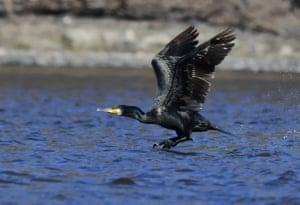 A cormorant in Yichun, Heilongjiang, China