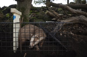 A rare erythristic badger is held in a trap before being vaccinated in the Peak District, England