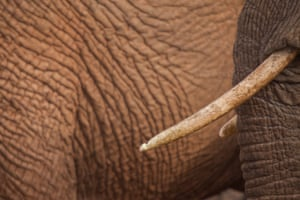 An elephant's ivory tusk is seen in the Samburu national reserve, Kenya.