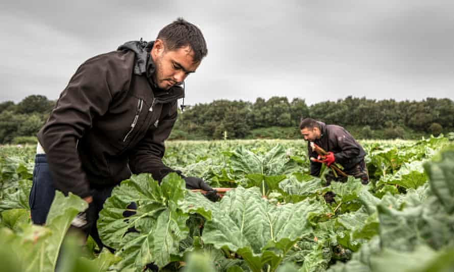 Seasonal workers from Romania harvesting a crop at a farm in Rothwell, near Leeds, last August.