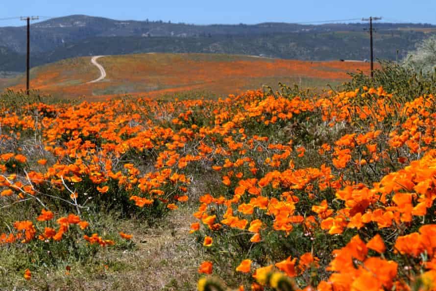 The poppy fields of Antelope Valley, California.